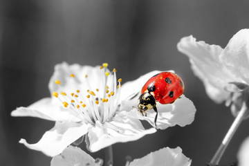 Ladybug on the white flower. black and white picture