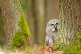 Curious Great grey owl
