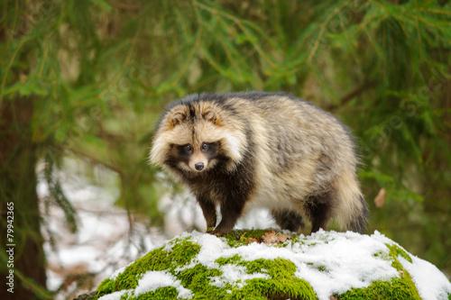Raccoon dog - 79942365