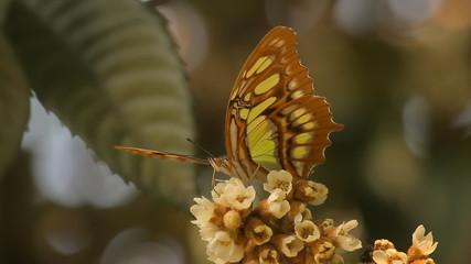 Swallowtail Butterfly Feeding On Flowers