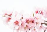 fleurs d'amandiers et abeille