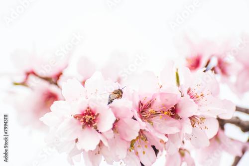 Fotobehang Kersen fleurs d'amandiers et abeille
