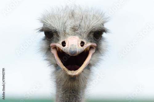 Big domestic ostrich in the poultry yard - 79945799