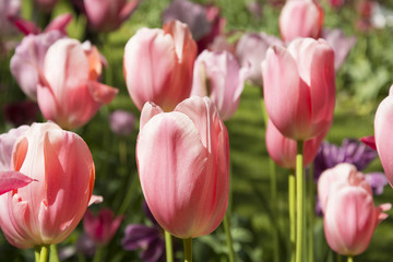 Beautiful Pink Tulips in Spring in the Netherlands