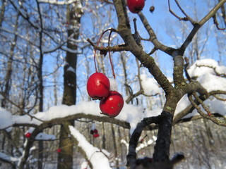 Frozen berries of hawthorn in the park in winter.