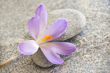 Gray stone and pebble zen background with blue crocus flower