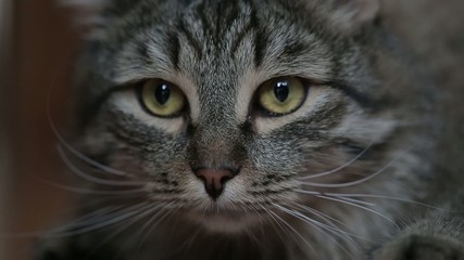 Beautiful tabby cat. The macro.