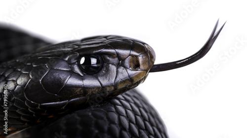 Leinwanddruck Bild red bellied black snake