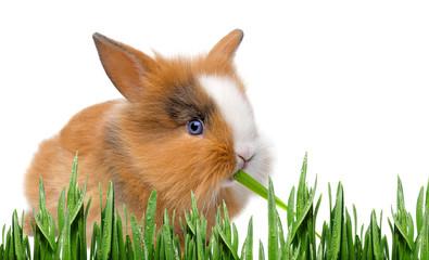 little baby rabbit eating grass