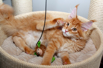 Roter Maine Coon Kater