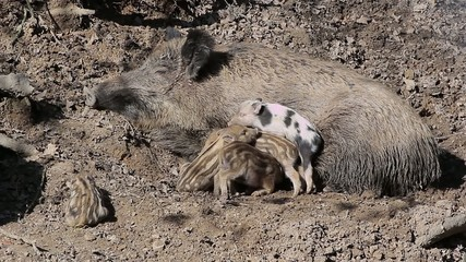 Wild sow and sleeping piglets