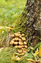 Mushrooms on a birch.
