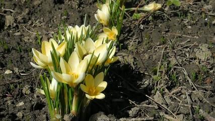 yellow crocus flowers and bee