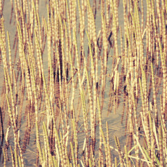 Bulrush marsh.Special toned photo in vintage style