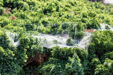 spider web and green grass in morning