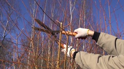 cut trim prune decorative willow bush tree branch
