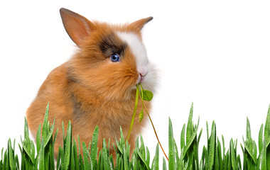 a little baby rabbit eating grass