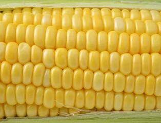 Closeup yellow sweet corn