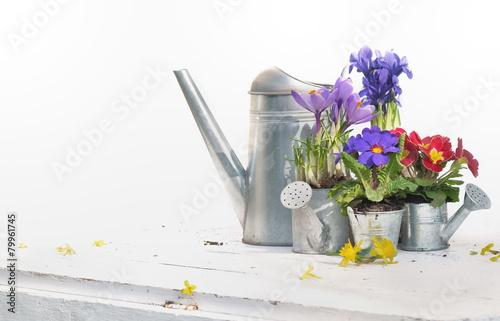 Foto Spatwand Krokus fleurs printanières et arrosoirs