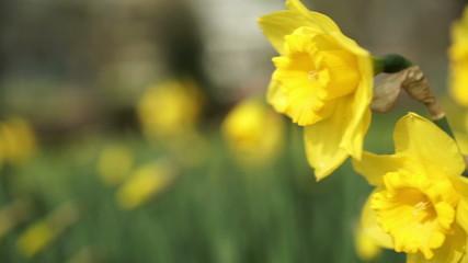 Yellow daffodil in an urban park.