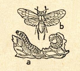 Turnip sawfly (Athalia rosae)