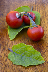 Cannibal's Tomato (Solanum uporo)