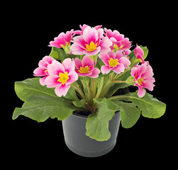 Primula flowers in a flower pot. isolated