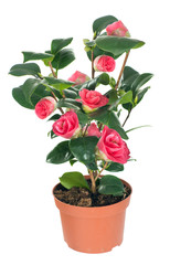 Camellia flower in a flower pot. isolated