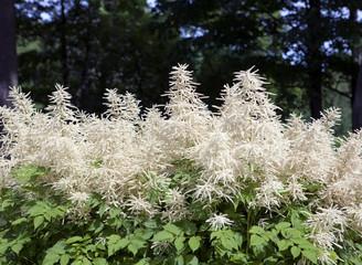 Blooming Aruncus dioicus (goat's beard, buck's beard)..