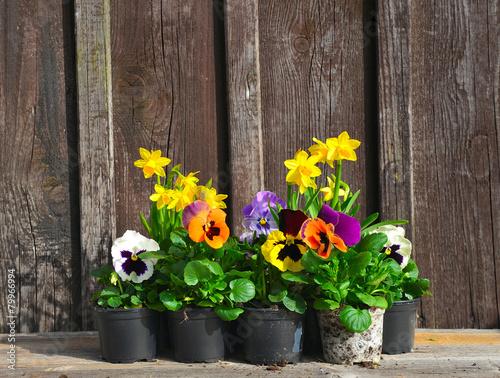 Fotobehang Pansies Frühling Blumen pflanzen