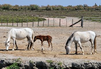 Camargue, cavalli