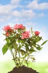 rose in soil