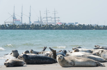 Seehunde vor Schiffskulisse