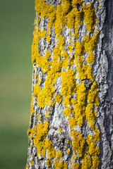 Yellow moss on tree