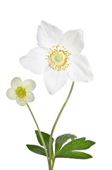 Two beautiful delicate flowers isolated on white background