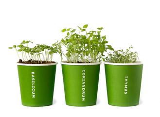 seedling of basil,coriander,thyme