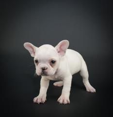 Grumpy French Bulldog Puppy