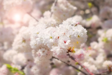 Abstract soft and blur spring white sakura