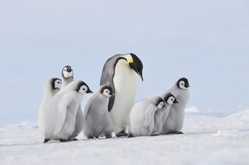 Antarktis Kaiserpinguin in der Gruppe