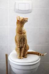 Abessinierkatze sitzt auf einem Toilettendeckel