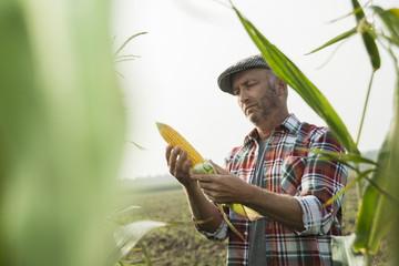 Bauer kontrolliert Maiskolben in einem Feld