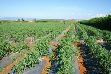 Asian agricultural field, tomato farm