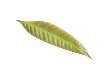 Young Mango leaf