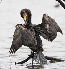 cormorano due