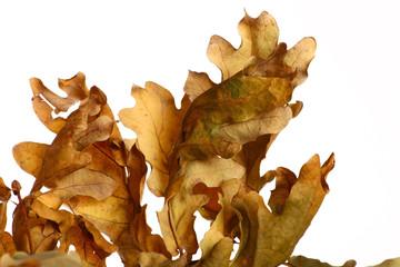 Acorn leaf