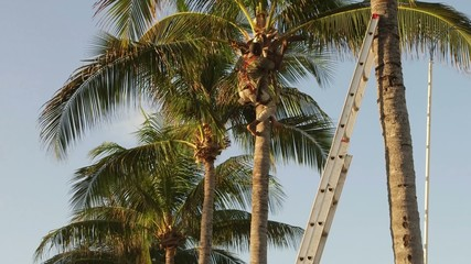 Working man cutting leaves and branches on tropical palm tree