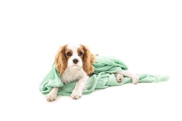 Cavalier King Charles Spaniel in einer Decke