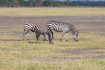 Zebras in the grasslands