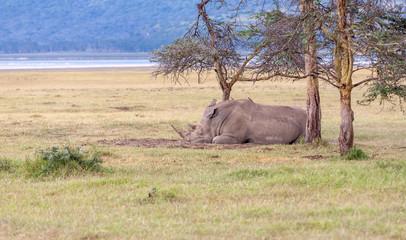Safari - rhino