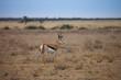 Springbok antelope-gazelle at Kalahari desert in Botswana.